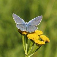 бабочка на пижме :: Олег Мартоник