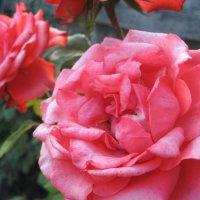 розы :: Аришка Родкина
