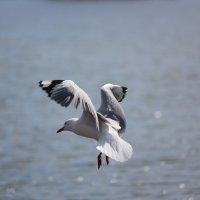 чайка в полете :: Natalya секрет