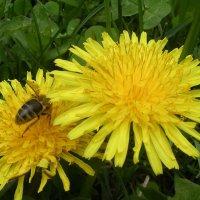 пчела :: Anushik Lucky