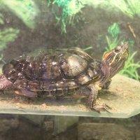 красноухая черепаха :: Анастасия Ветрова