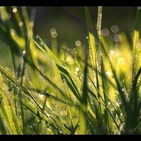 Просыпались росинки утром на травинках.... :: Елена Kазак