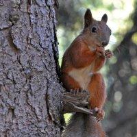The Squirrel :: Roman Ilnytskyi