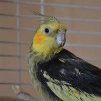 мой папугай :: Lika Anzela
