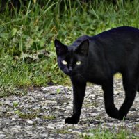 Черная пантера :: Олеся