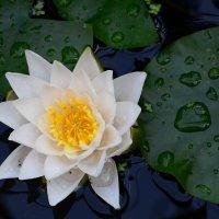 white lily :: Дмитрий Каминский
