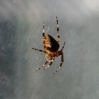 паук :: Андрей Медведев