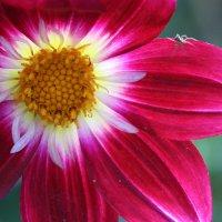 Цветок :: Лариса федотова