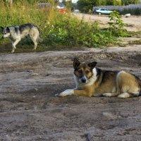 Собаки. :: Валерий Молоток