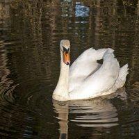 White Swan :: Roman Ilnytskyi