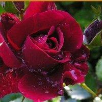 Мои розы - Надежда :: Tatyana Kuchina