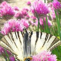 Бабочка Парусник Подалирий и цветы шнитт-лука :: Юлия Золотухина