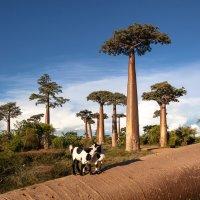 После урагана(поваленный баобаб)... Мадагаскар! :: Александр Вивчарик