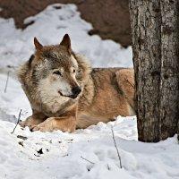 Старый волк.... :: Aleks