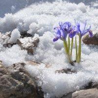 Последний снег и первые цветы... :: Olenka