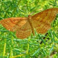 Idaea serpentata — Пяденица малая желтая :: vodonos241