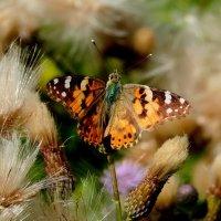 и снова бабочки 54 :: Александр Прокудин