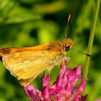 и снова бабочки 66 :: Александр Прокудин