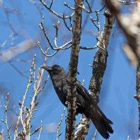 Большеклювая ворона :: Olga Dudina
