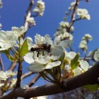 груша и пчелка собирает мёдик :: вячеслав коломойцев
