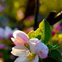 Яблоневый цвет :: Nina Streapan