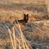 Чёрный волк... :: Андрей Хлопонин