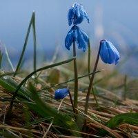 Синий цветок :: Александр Протопопов