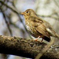 Птицы весны. Певчий дрозд. :: Ната Волга