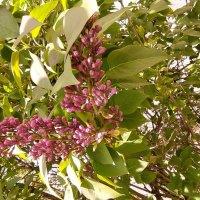Сиреневая весна :: Dimos Izgor