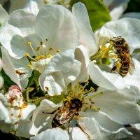 Отчего цветок дрожит, посредине кто жужжит? :: Виктор Малород