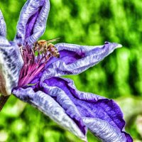 Пчела на клематисе :: Андрей ТOMА©