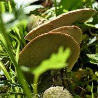 три гриба .... :: Heinz Thorns