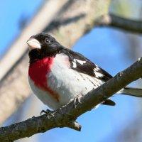 Красногрудый дубоносовый кардинал :: Tatiana