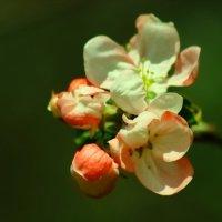 Цветок яблони :: Александр Козлов