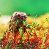 Майский жук. :: Андрей Ермолаев