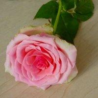 Роза :: Наталья Цыганова