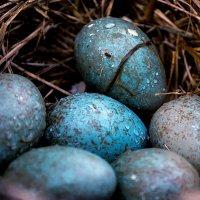 Яйца дрозда :: Alexandra