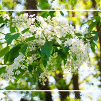 Черемуха цветет... Весна ,блин... :: Александр Широнин