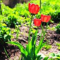 Тюльпаны в огороде,на грдке... :: Александр Широнин