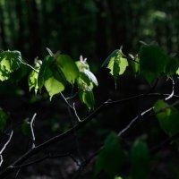 Утро в лесу :: Алексей Петропавловский