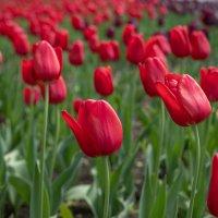 red tulips :: Nara Nakhshkarian