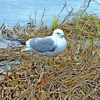 Серебристая чайка Карелии :: Raduzka (Надежда Веркина)