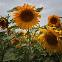Солнечное поле :: Alla Shapochnik