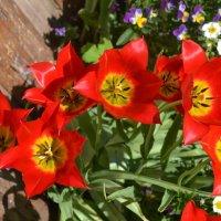 Тюльпановый рай. :: zoja