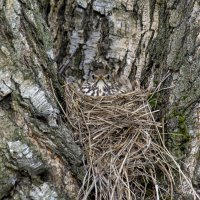 Певчий дрозд самка и гнездо. :: Валерий Шурмиль