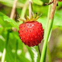 Сладка ягода. :: Александр Леонов