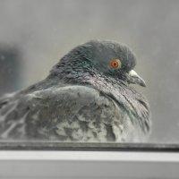 Голубь за моим окном :: MarinaKiseleva