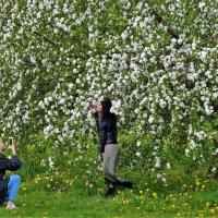 Яблони  в цвету... :: Sergey Gordoff
