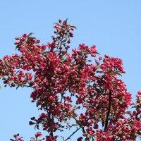 цвет яблони :: ИННА