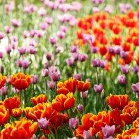 Тюльпаны :: Albina Lukyanchenko